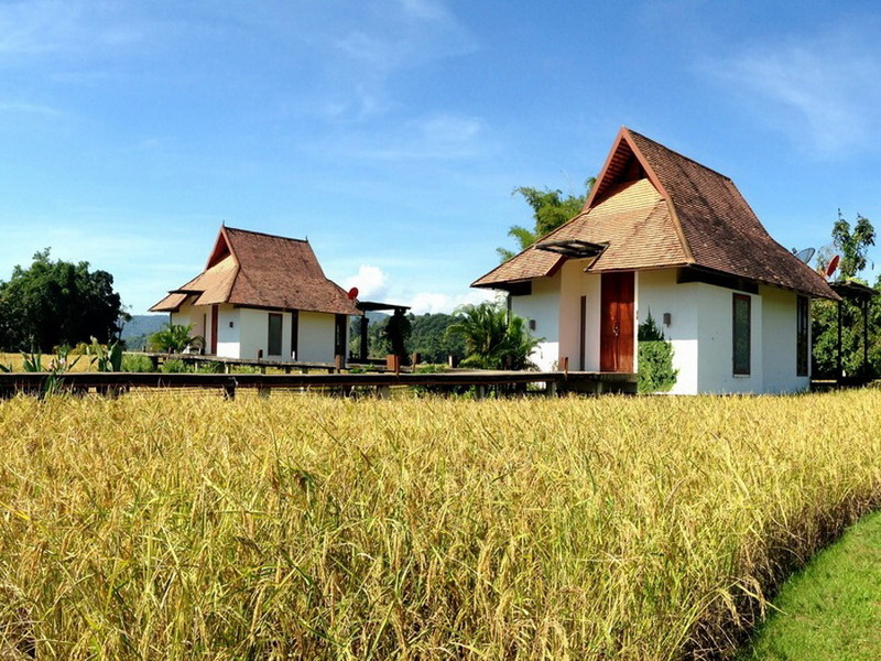 Golden rice fields – Villa view (1)